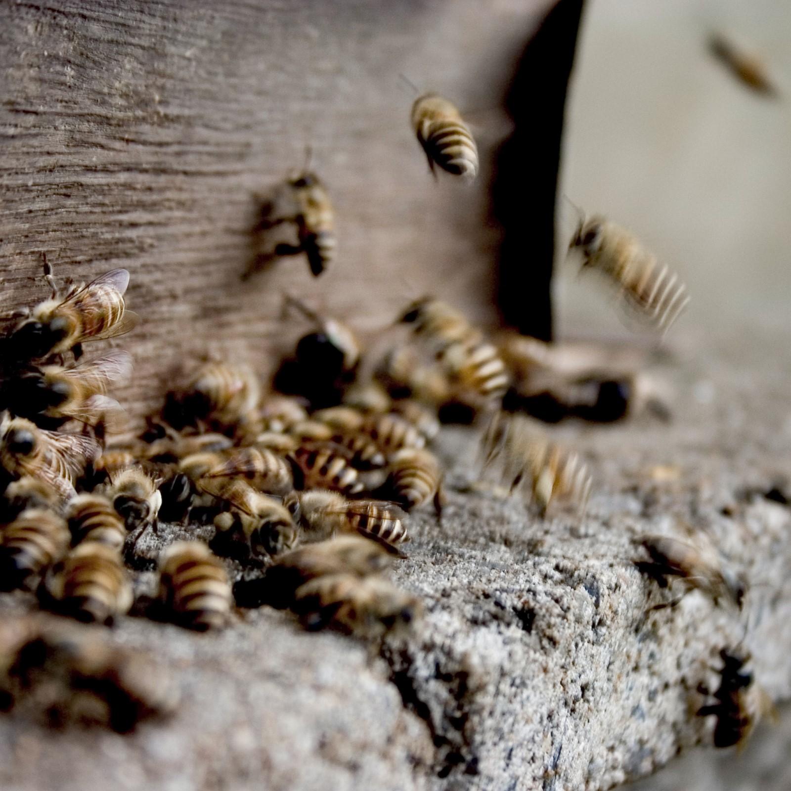 Bienen am Eingang zum Bienenstock